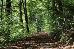 Forest path on a bright summers day surrounded by green trees
